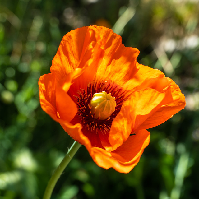 Orange Glow Oriental Poppy