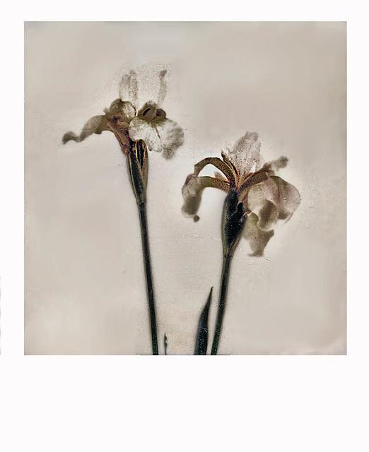 Slender Blue Flag (Iris prismatica)