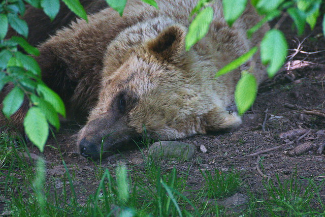 Bär schläft nicht - the bear is not sleeping