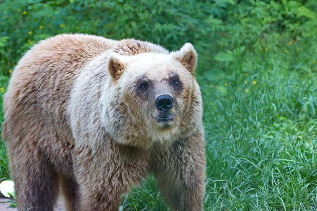 Bär seine Augen- the eyes of the bear
