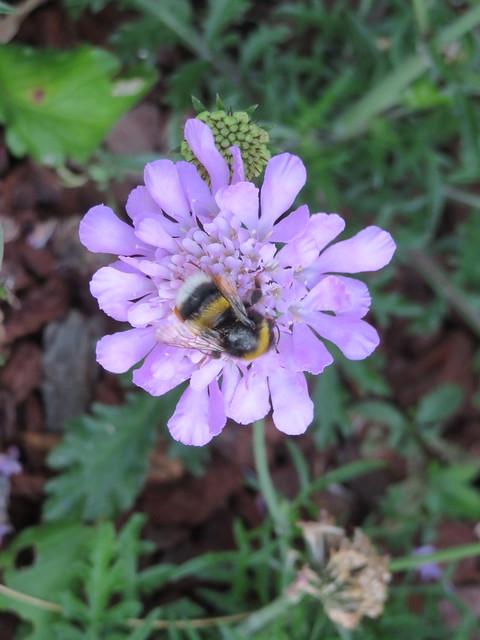 Bourdon sur scabieuse. Bumblebee on scabious.