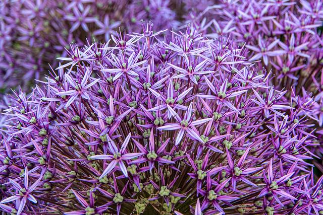 Blumenpracht oder Prachtblume?