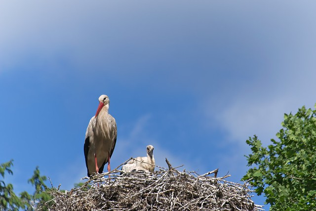 Stork with offspring   June 13th 2021   Schleswig-Holstein - Germany