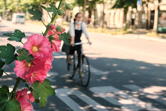 Rose trémière et vélo - Hollyhock and bicycle
