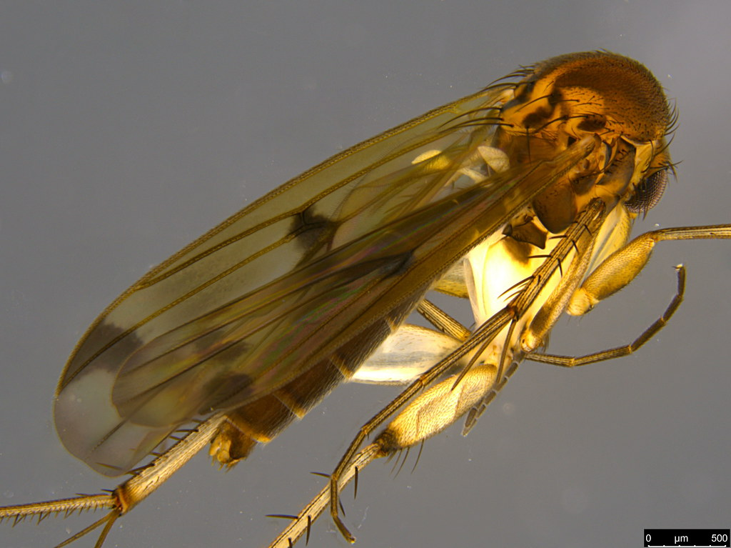 2c - Sciaroidea sp.