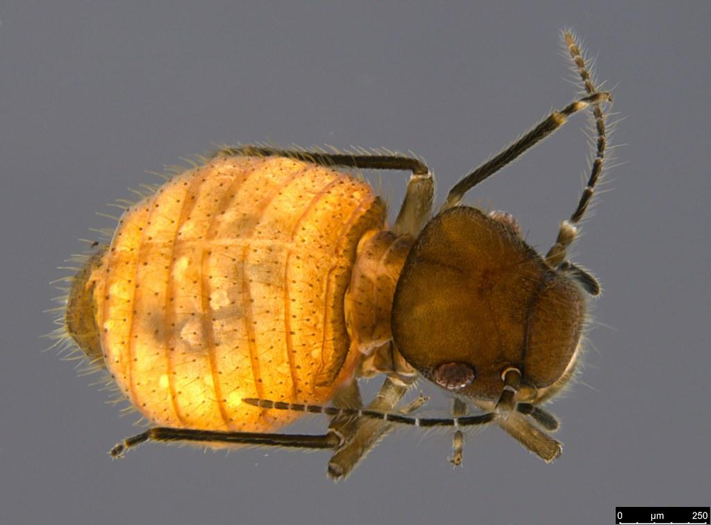 15a - Liposcelidae sp.