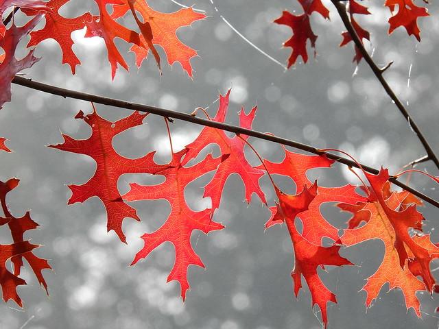 Quercus palustris I