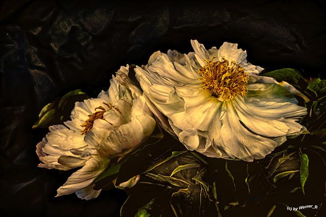 die Pfingstrosenblüte, the peony blossom
