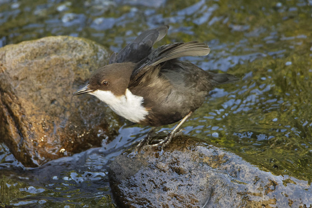 Dipper ready to fly
