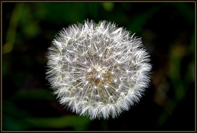 Dandelions seed
