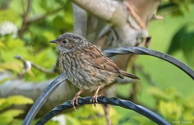 Juvenile Dunnock (Hedge Sparrow). June 2021