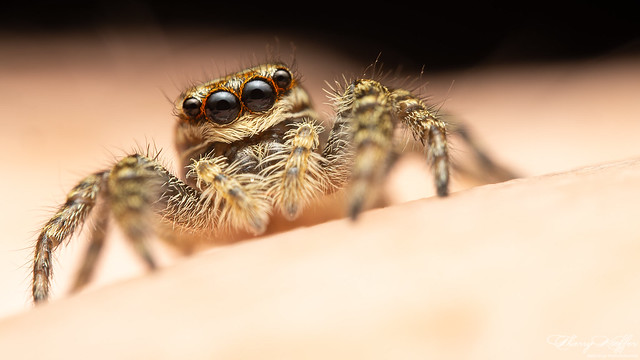 Marpissa muscosa juvenile female