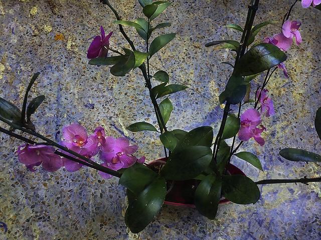 Renacera la flor de la belleza