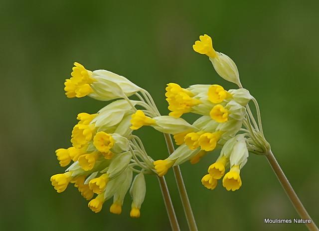 0S8A5899. Cowslip (Primula veris)