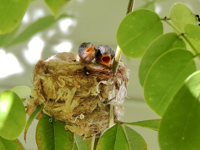 Hummingbird Chicks - One week