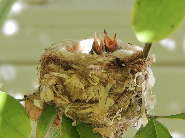 Week old Hummingbird chicks waiting for mom