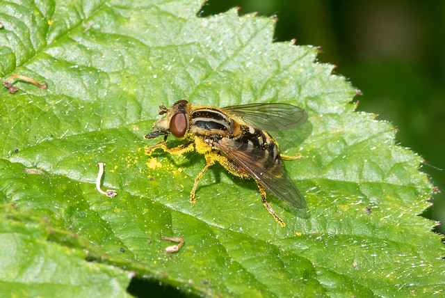 Hoverfly: Anasimyia lineata [Syrphidae]