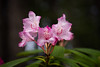 Mount Hood Rhododendron