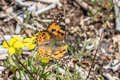 Belle Dame – Painted Lady – Vanessa cardui