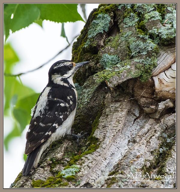 Milton Vt Sandbar Fem Hairy Woodpecker 2021-06-14 008