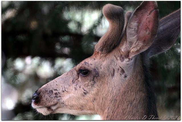 Velvety Buck