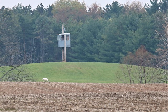 Distant Whooping Crane