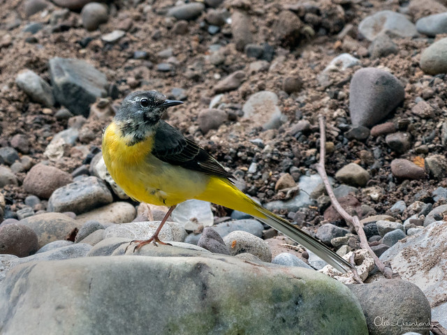 Grey Wagtail with lunch at Taf Fechan nature reserve, just north of Merthyr Tydfil.