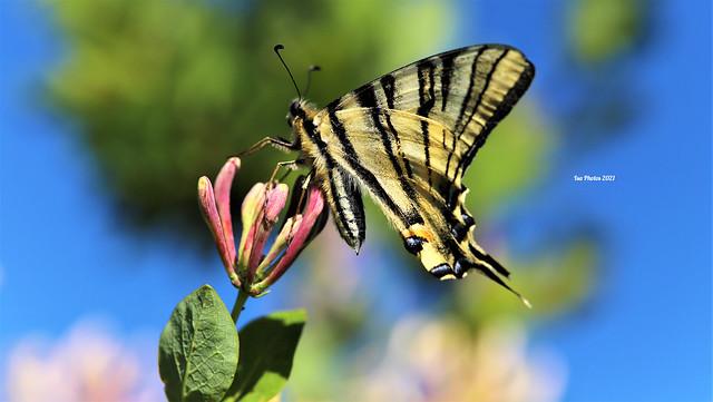 Papillon flambé made in Cantal-France