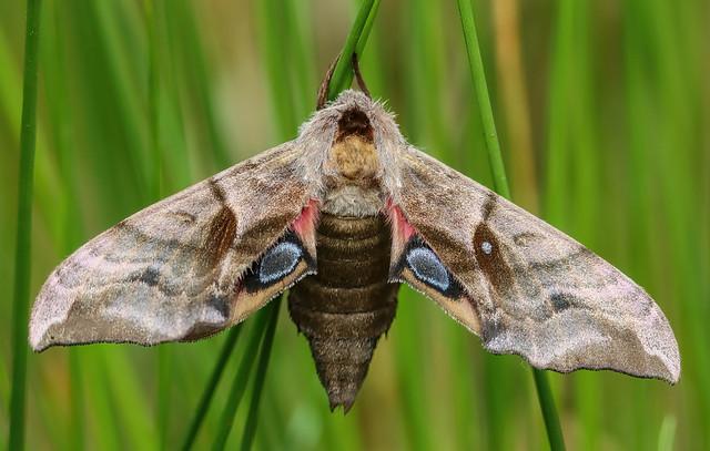Eyed Hawk-moth.