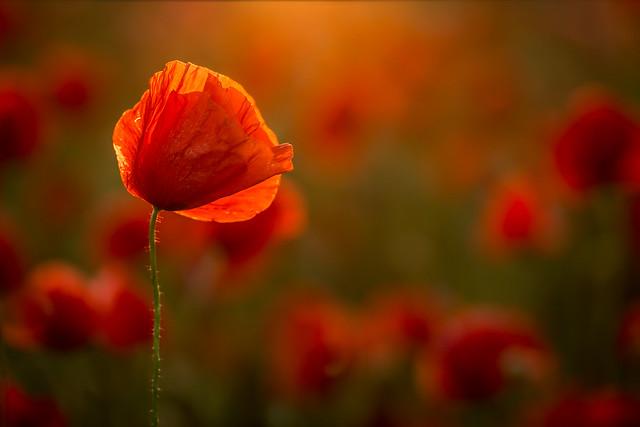warm poppies