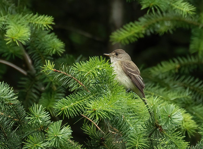 I believe this is a Willow Flycatcher,  ( thanks John Morrison for ID)