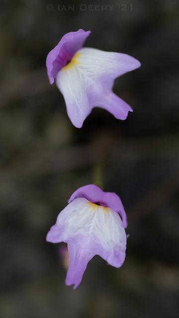 Purple Bladderwort (Utricularia purpurea)
