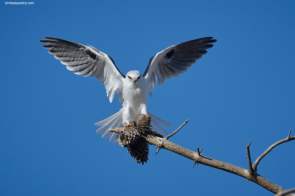 Black-shouldered Kite: Gently Does It