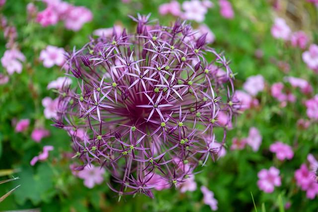 Allium  cristophil