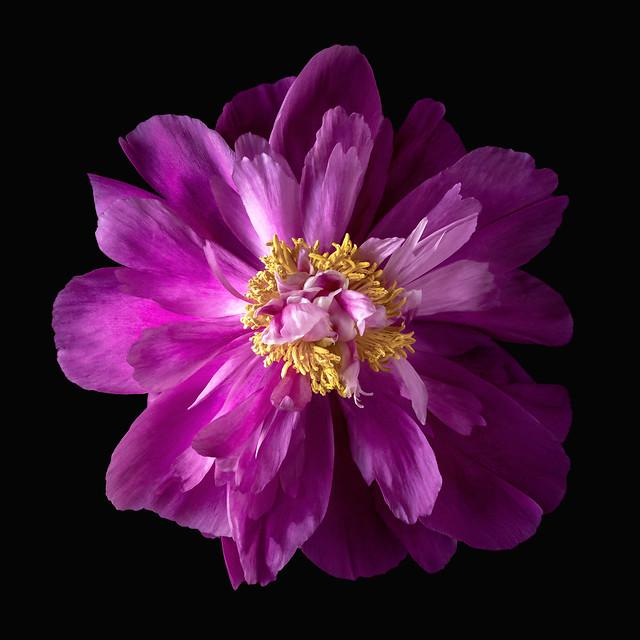 Purple Peony 💜