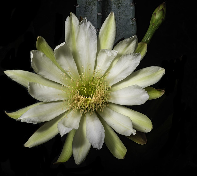 Night Blooming Cactus Flower 625A