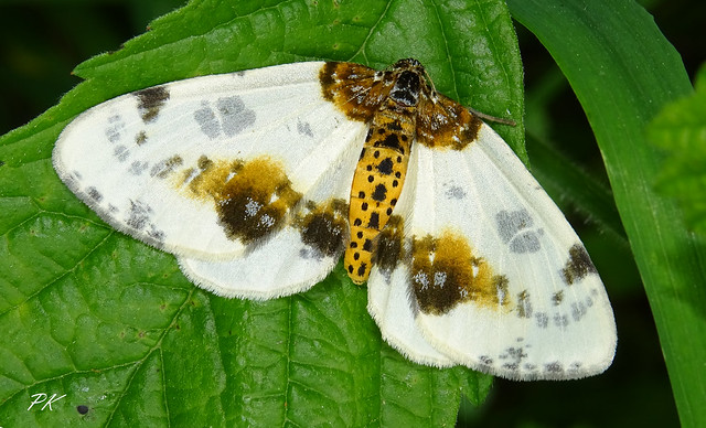 Clouded Magpie
