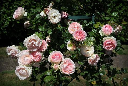 rosier 'Pierre de Ronsard' 51248315691_705610fc9e