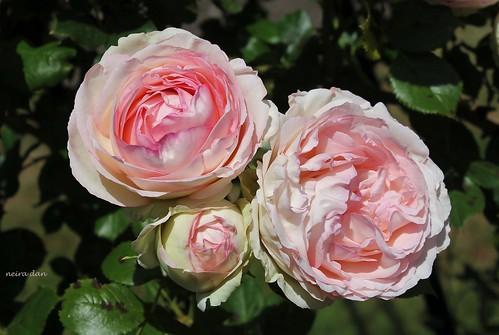 rosier 'Pierre de Ronsard' 51248316306_258e444d57