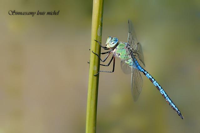 Emperor dragonfly / Anax empereur