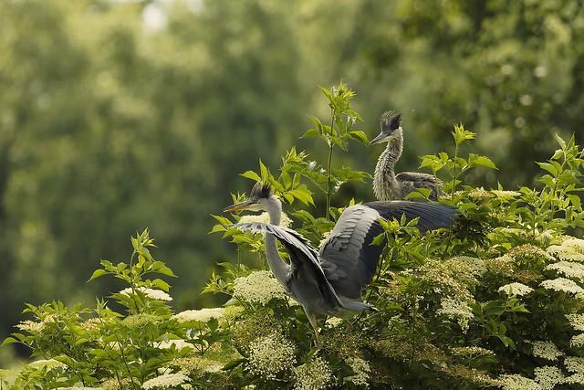 050/21Graureiher Grey Heron Ardea cinerca 15.06.21