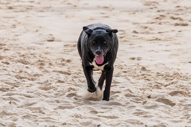 When your dog spots Mum on the beach after a wallk with Dad.
