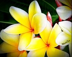Flores Plumerías...!!!