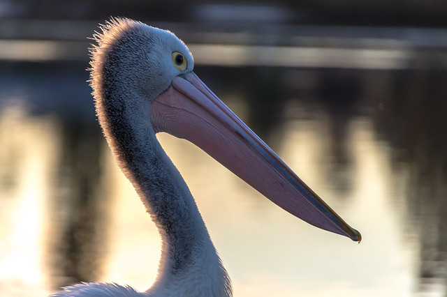Pelican portrait in the sunset light