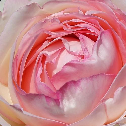 rosier 'Pierre de Ronsard' 51248511708_b831e55669