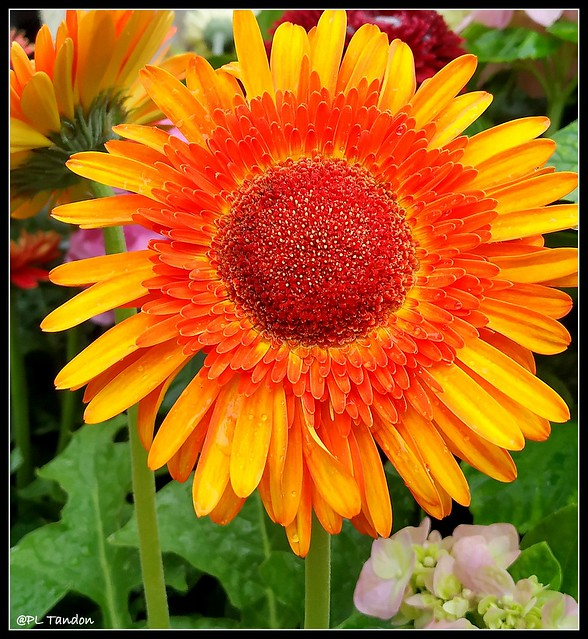 Hybrid Gerbera Flower