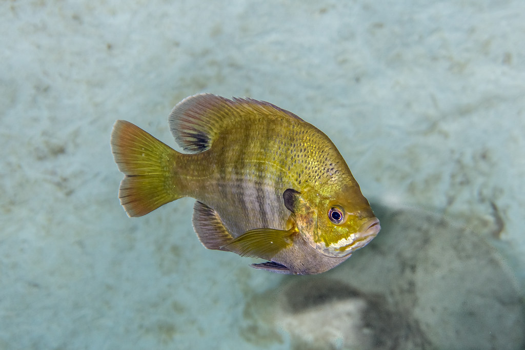Bluegill in the cave