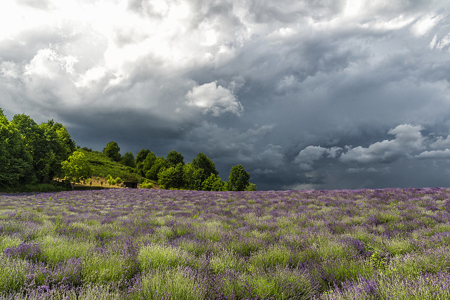 DRAMATIC SKY on the LAVENDER FIELD