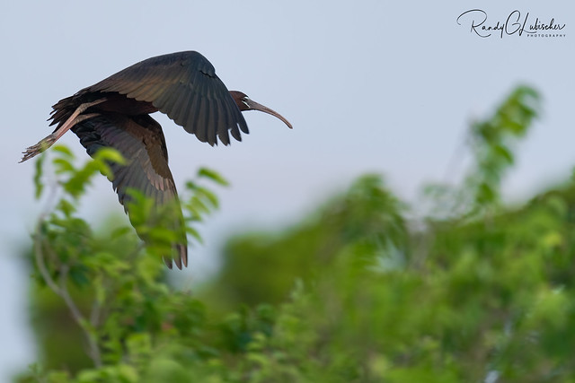 Glossy Ibis  | Plegadis falcinellus | 2021 - 2
