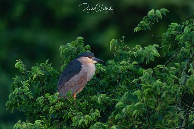 Black-crowned Night Heron | Nycticorax nycticorax | 2021 - 5